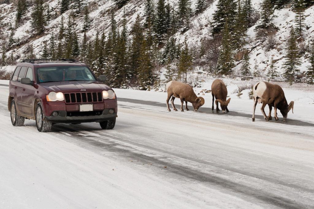 Rijd je op de Icefields Parkway dan is de kans groot dat je de Canadese wildlife tegenkomt zoals een elk of een caribou