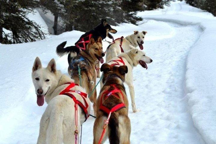 Dogsledding Jasper