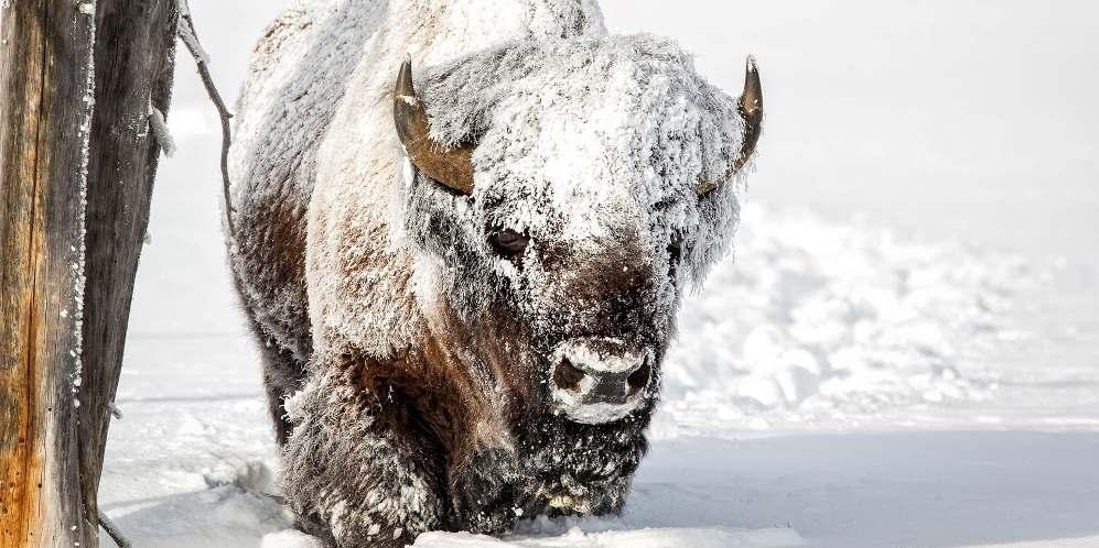 Edmonton Bizon Elk National Park