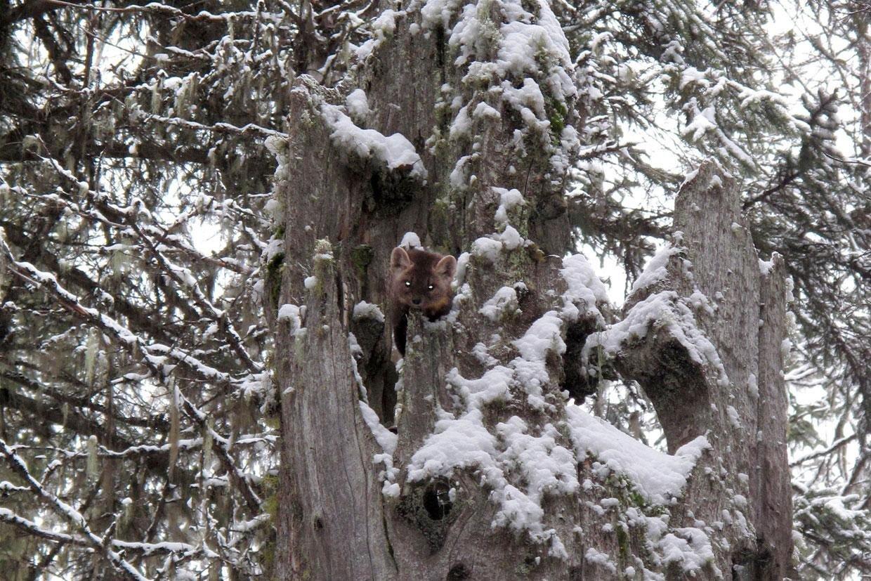 Wildlife viewing Fernie