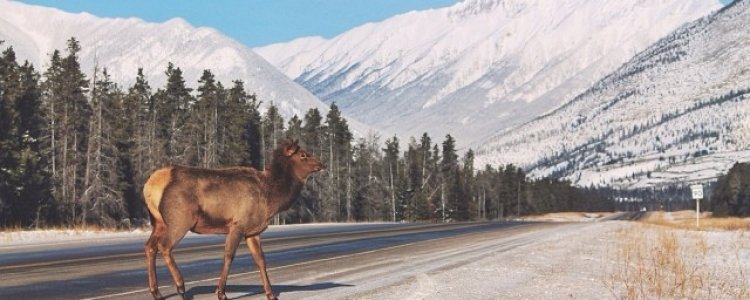 Wildlife experience in de Canadese Rockies