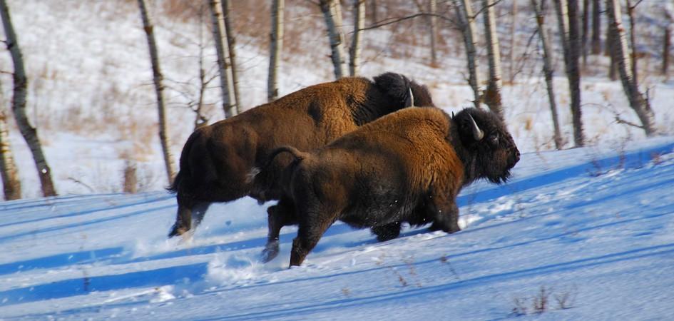Banff Amerikaanse bizons, Canadese Rockies. National Parks of Canada
