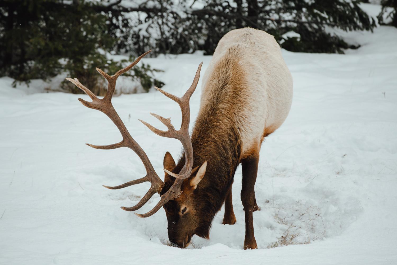 Het nationaal park Elk Island is vlakbij de stad Edmonton gelegen in Alberta. Ontdek in dit park de Canadese wildlife